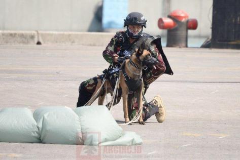 Prajurit Kopassus Bersama Anjing Belgian Malinois pada HUT ke-72 TNI 2