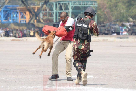 Prajurit Kopassus Bersama Anjing Belgian Malinois pada HUT ke-72 TNI 5
